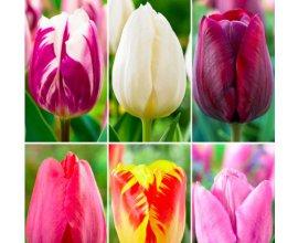 Bakker.com: 60 tulipes en 6 variétés - Bulbe à fleurs à 8,99€ au lieu de 22,95€