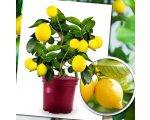 Willemse: 1 mini citronnier & la livraison offerte dès 39€ d'achat