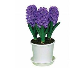 Willemse: Collection de 9 jacinthes préparées (3 roses + 3 blanches + 3 bleues) + 3 pots à 24,99€