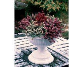 Willemse: Collection de 6 bruyères d'hiver (2 rouges + 2 roses + 2 blanches) au prix de 26,99€