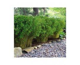 Willemse: 3 Bambous de haie - Hauteur 60cm à 19,50€ au lieu de 39€