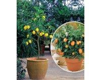 Willemse: Collection de 2 agrumes : 1 kumquat + 1 citronnier à 47,95€